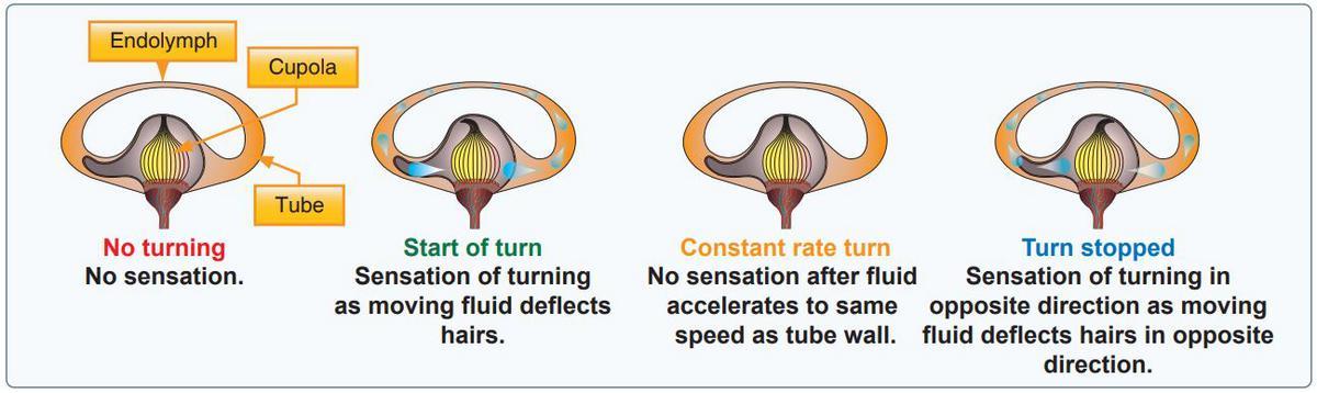 inner ear fluid flying balance