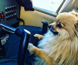 Pomeranian flying a plane