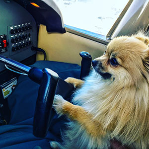 Pomeranian flying a plane
